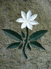 Der siebenstern trientalis europaea gilt als das symbol des